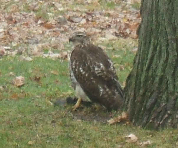 picture of eagle eating squirrel